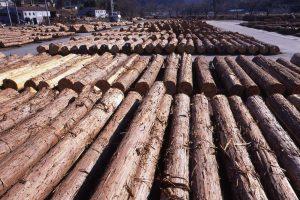 木曽材の原木